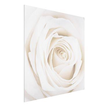 Quadro in forex - Pretty White Rose - Quadrato 1:1
