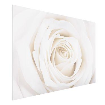Quadro in forex - Pretty White Rose - Orizzontale 3:2