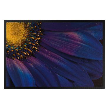 Zerbino - Blue Gerbera Blossom
