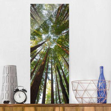Quadro in vetro - Sequoia treetops - Pannello