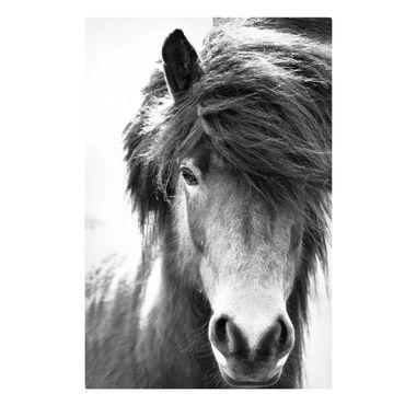 Stampa su tela - Cavallo d'Islanda in bianco e nero