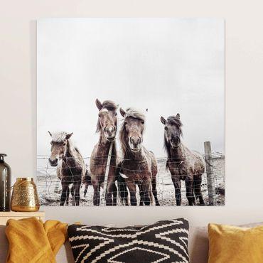 Stampa su tela - Cavallo d'Islanda - Quadrato 1:1
