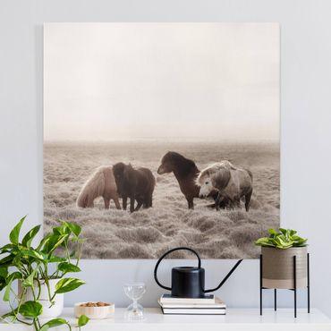 Stampa su tela - Cavallo selvaggio d'Islanda - Quadrato 1:1