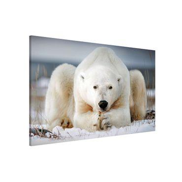 Lavagna magnetica - Orso polare contemplativa - Formato orizzontale 3:2