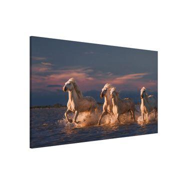 Lavagna magnetica - Cavalli selvaggi in Kamargue - Formato orizzontale 3:2