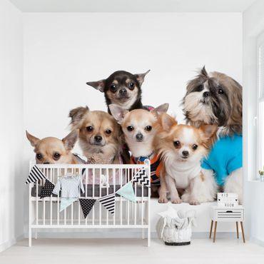 Carta da parati - Chihuahuas