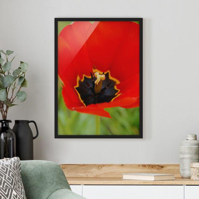 Poster con cornice - Amazing Red Tulips - Verticale 4:3