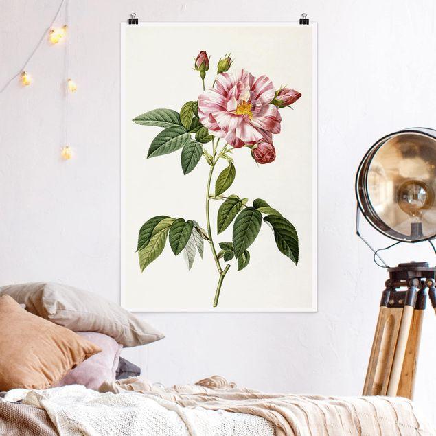 Poster - Pierre Joseph Redoute - Rosa Gallica Rose - Verticale 3:2